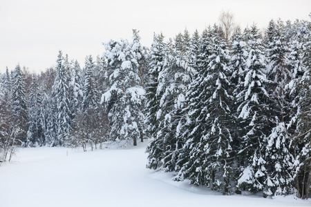 winter forest: Snow covered forest and field overcast day finland winter Stock Photo