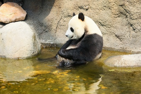 Giant panda enjoying a bath