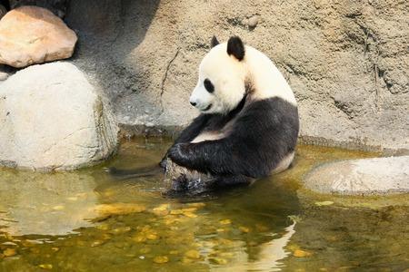 oso panda: Panda gigante disfrutando de un baño Foto de archivo
