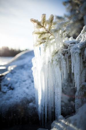 conifer: Long icicles frozen conifer branch