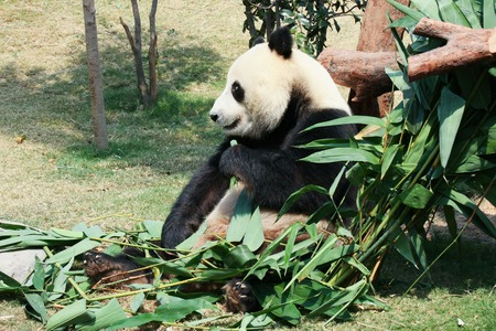 oso negro: Panda gigante comiendo bambú