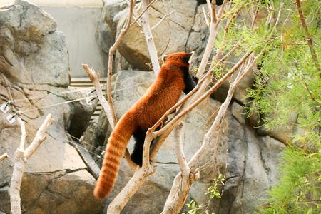 sneak: Red panda climbing on tree at zoo