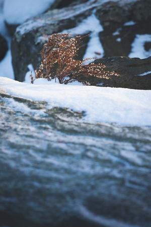 sere: Wild brown heather at winter