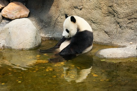 panda: Giant panda enjoying a bath