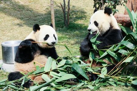 oso panda: Dos pandas gigantes comen bambú Foto de archivo