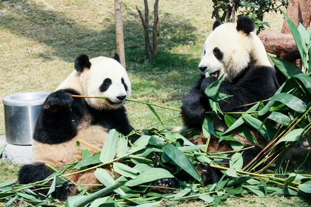 panda: Two giant pandas eating bamboo
