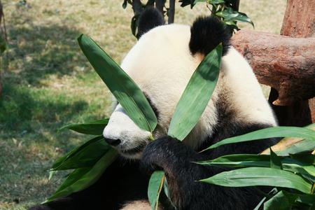 oso panda: Panda gigante comiendo bambú