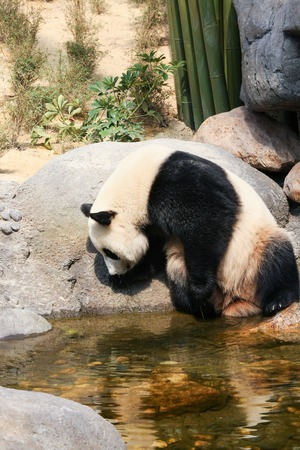 near: Giant panda near water Stock Photo