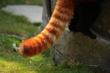 Rode panda pluizige gestreepte staart Stockfoto