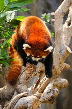 oso panda: Escalada panda rojo en el árbol en el parque zoológico Foto de archivo