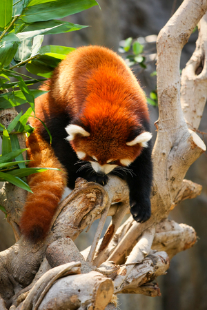 panda: Red panda climbing on tree at zoo
