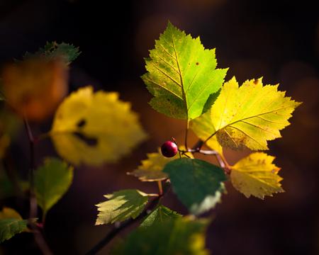 autumn leafs: Beautiful colorful autumn leafs in nature