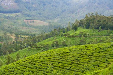 tea plantations: Tea plantations at munnar india on a cloudy day