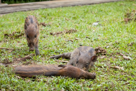 3 little pigs: Baby wild boars sleeping on grass peacefully Stock Photo