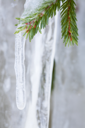 weather: Icicle hanging from spruce tree branch Stock Photo