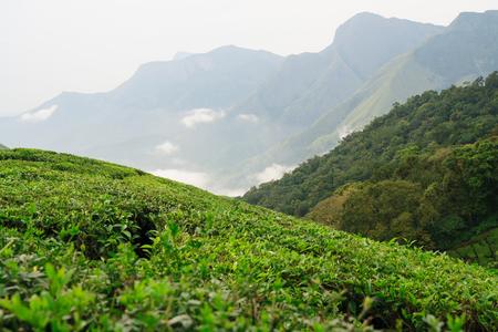 tea plantations: Munnar tea plantations india on a overcast day