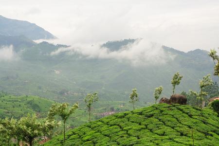 overcast: Munnar tea plantations india on a overcast day