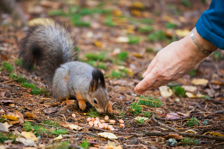 red squirrel: Old woman hand feeding nuts to eurasian red squirrel Stock Photo