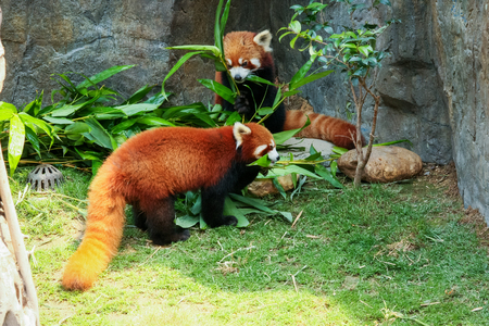 oso panda: Dos panda roja linda deja de comer bambú Foto de archivo