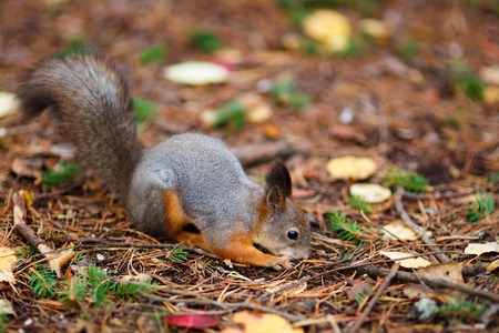 red squirrel: Cute eurasian red squirrel in the wild Stock Photo