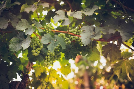 branches and leaves: Grapes in vine and sunshine