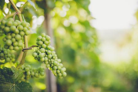 Druiven in wijn en zonneschijn Stockfoto