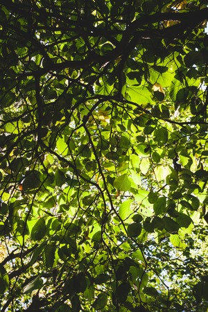 hojas de arbol: Green foliage backlit nature background