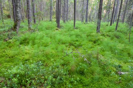 Forest in Finland at summer landscape 免版税图像