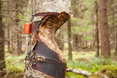 chewed: Tree gnawed by beaver in the forest
