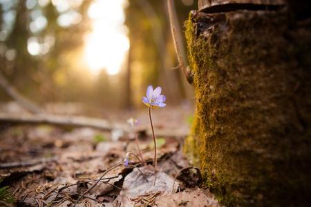 liverwort: Hepatica nobilis beautiful sunlight and blurred background