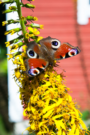 nymphalis: Peacock butterfly on yellow flower in garden at sunny day