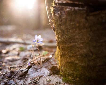 hepatica: Hepatica nobilis beautiful sunlight and blurred background