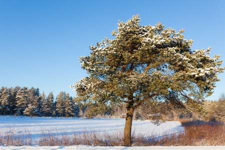 winter finland: Pine tree at roadside winter Finland