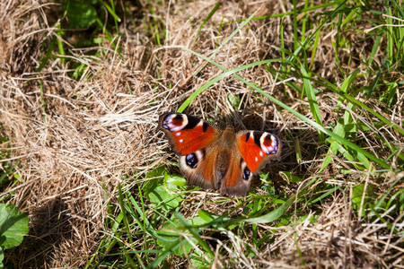Peacock butterfly on at sunny day Stock Photo