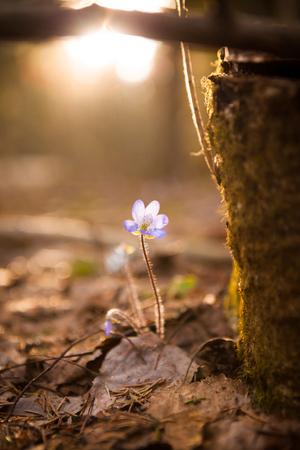 nobilis: Hepatica nobilis beautiful sunlight and blurred background