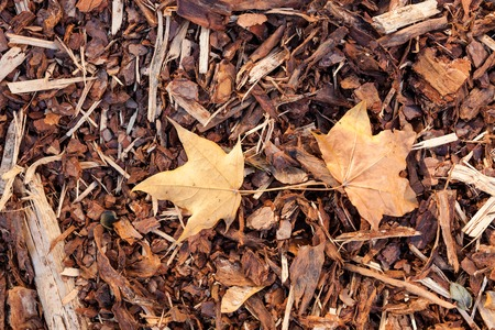 bark mulch: Bark mulch and fallen autumn maple leaves