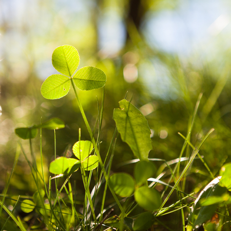 clovers: Clovers growing in nature and are illuminated by sunlight