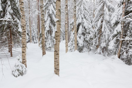snow covered forest: Trees in snow covered forest at winter