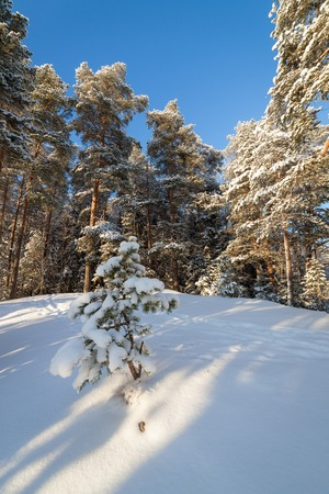 winter finland: Snow forest sunny cold day