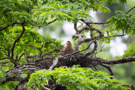 nesting: Young tiger heron in treetop nest
