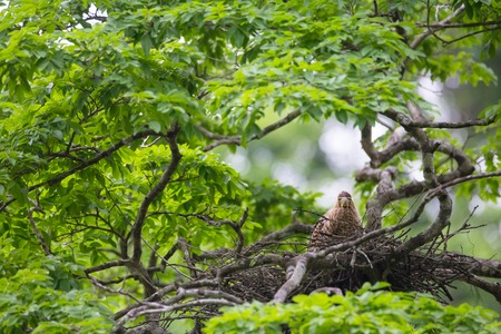birdnest: Young tiger heron in treetop nest