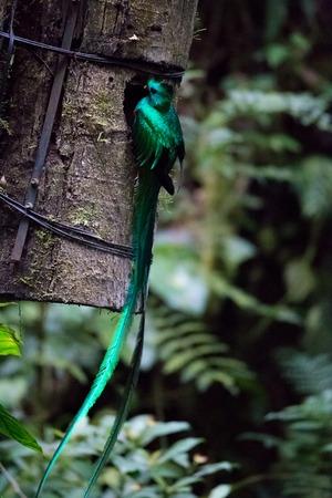 Quetzal bird wild Monteverde Costa Rica