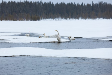 Swans on partially frozen lake
