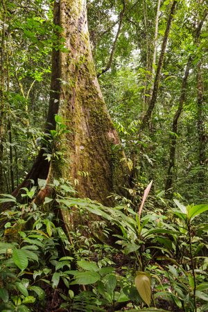 huge tree: Big tree deep in rainforest borneo Stock Photo