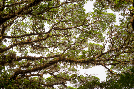 huge tree: Tree foliage in rainforest