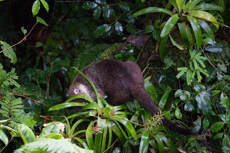 Wild white-nosed coati in  rainforest Stock Photo