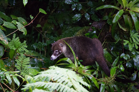 Wild white-nosed coati in  rainforest Stock Photo