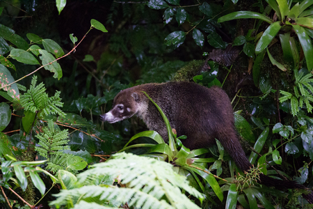 Wild white-nosed coati in lush rainforest Monteverde Costa Rica