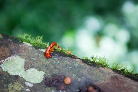 Red millipede in Gunung Mulu national park Borneo Malaysia