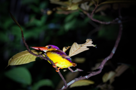 Kingfisher on tree branch at night Bako national park Borneo Malaysia